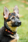 Portrait of three month old German Shepherd, Greta