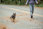Three month old German Shepherd, Greta, out for a walk on her road