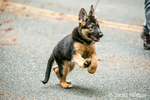 Three month old German Shepherd, Greta, enthusiastically going for a walk on her road