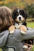 Woman holding her ten week old Bernese Mountain puppy, Winston