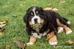 Ten week old Bernese Mountain puppy, Winston