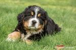 Ten week old Bernese Mountain puppy, Winston, resting in the park