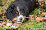Ten week old Bernese Mountain puppy, Winston, chewing on a stick as he takes a break from playing