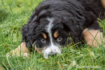 Ten week old Bernese Mountain puppy, Winston, resting in the park