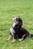 Ten week old Bernese Mountain puppy, Winston, sitting in the park