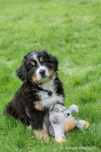 Ten week old Bernese Mountain puppy, Winston, sitting in the park with his stuffed animal toy