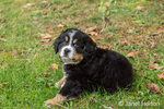 Ten week old Bernese Mountain puppy, Winston, sitting in the park