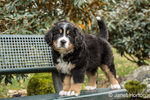 Ten week old Bernese Mountain puppy, Winston, standing on a park bench