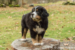 Ten week old Bernese Mountain puppy, Winston, standing on a tree stump in the park