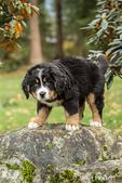 Ten week old Bernese Mountain puppy, Winston