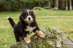 Ten week old Bernese Mountain puppy, Winston, climbing on a rock in the park