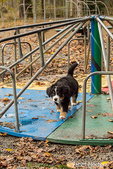 Ten week old Bernese Mountain puppy, Winston, walking on a merry-go-round at the park