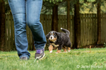 Ten week old Bernese Mountain puppy, Winston, following his owner in the park