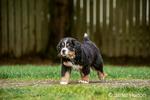 Ten week old Bernese Mountain puppy, Winston, walking in the park