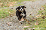 Ten week old Bernese Mountain puppy, Winston, out for a run in the park