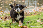 Ten week old Bernese Mountain puppy, Winston, out for a run in the park by a pond