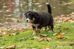 Ten week old Bernese Mountain puppy, Winston, walking in the park by a pond