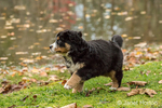 Ten week old Bernese Mountain puppy, Winston, walking in the park by a pond i