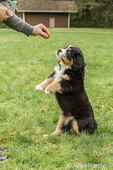 Ten week old Bernese Mountain puppy, Winston, being rewarded with a treat