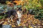 Fifteen week old Rough Collie puppy, Seamus, posing in his yard