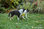 Fifteen week old Rough Collie puppies, Seamus and Tavish, competing for a branch