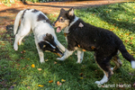 Two fifteen week old Rough Collie puppies, Seamus and Tavish, roughhousing in their yard