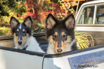 Two fifteen week old Rough Collie puppies, Seamus and Tavish, waiting in the back of a pickup truck