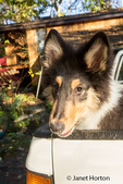 Portrait of fifteen week old Rough Collie puppy, Seamus, waiting in the back of a pickup truck