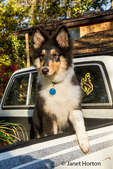 Portrait of fifteen week old Rough Collie puppy, Tavish, waiting in the back of a pickup truck