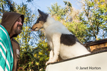 Fifteen week old Rough Collie puppy, Tavish, about to give his owner a lick as he waits in the back of a pickup truck