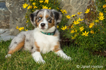 Three month old Blue Merle Australian Shepherd puppy, Luna, posing in front of some Autumn-blooming flowers