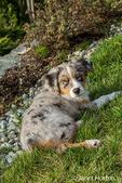 Three month old Blue Merle Australian Shepherd puppy, Luna, enjoying a in Sammamish, Washington, USA