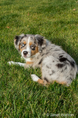 Three month old Blue Merle Australian Shepherd puppy, Luna, enjoying a rest in her yard after a play session