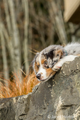 Three month old Blue Merle Australian Shepherd puppy, Luna, resting and looking out over a rock ledge in her landscaped yard