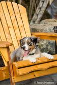 Three month old Blue Merle Australian Shepherd puppy, Luna, resting in a wooden lawn chair