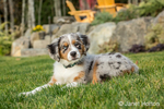 Three month old Blue Merle Australian Shepherd puppy, Luna, resting in her lawn
