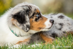 Three month old Blue Merle Australian Shepherd puppy, Luna, resting in her lawn