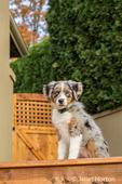 Three month old Blue Merle Australian Shepherd puppy, Luna, sitting on her new deck