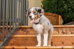 Three month old Blue Merle Australian Shepherd puppy, Luna, standing on the stairs to her new deck