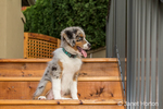 Three month old Blue Merle Australian Shepherd puppy, Luna, sitting on the steps to her new deck