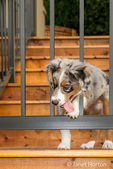 Three month old Blue Merle Australian Shepherd puppy, Luna, trying to get unstuck after putting her head through the railing on her new deck