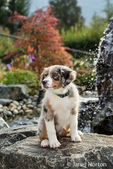 Three month old Blue Merle Australian Shepherd puppy, Luna, posing on the rocks that are part of the water feature in her yard