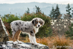 Three month old Blue Merle Australian Shepherd puppy, Luna, standing on a boulder that is part of a water feature in her yard