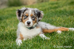 Three month old Blue Merle Australian Shepherd puppy, Luna, taking a short rest in her yard after a play session