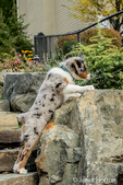 Three month old Blue Merle Australian Shepherd puppy, Luna, stretching to sniff a scent in her yard