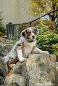 Three month old Blue Merle Australian Shepherd puppy, Luna, climbing on a boulder in her yard