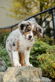 Three month old Blue Merle Australian Shepherd puppy, Luna, standing on a boulder in her newly landscaped yard