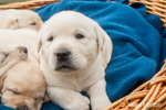 One month old Yellow Lab puppies