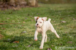 Nine week old boxer puppy, Axle, running across his yard
