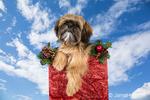 """Five month old Shih Tzu puppy """"Wilson"""" sitting in a crate covered in Christmas decorations"""
